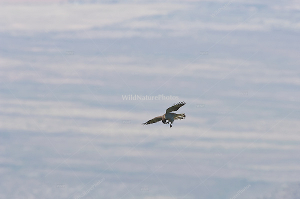 Short-tailed Hawk female (Buteo brachyurus), soaring near nest; Arizona
