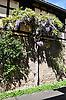 blühende Glycinie (Glycine wisteria) am Stamm an der Fassade eines Fachwerkhauses
