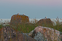 Gulls are still and quiet in the dawn awaiting the first rays of sun -Norrskär Islands in the Gulf of Bothnia, Finland