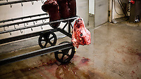 A cow's liver and its head hang from a trolly in a small family owned slaughter and meat packing company in Mead, Kansas. At this firm they typically slaughter ten animals each day but is one of only a few such sized companies in a region dominated by four giant meat packing plants that kill and process between five and six thousand cattle a day.