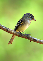 Adult least flycatcher