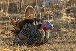 Eastern wild turkeys gobbling