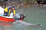 Michaelle Fleming with help from Paul Britten gets up close to Fungie The Dingle Dolphin who is celebrating 30 years in Dingle Harbour this weekend.<br /> Picture by Don MacMonagle