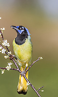 Green Jay perched on flowery branch eating white blossoms