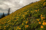 Balsamroot flowers in peak bloom on a Washington hillside along the Dog Mountain trail.