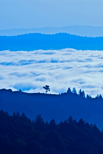 Lone Tree stands on top of Newton Vineyard in Napa Valley.  Tree is landmark of the area.