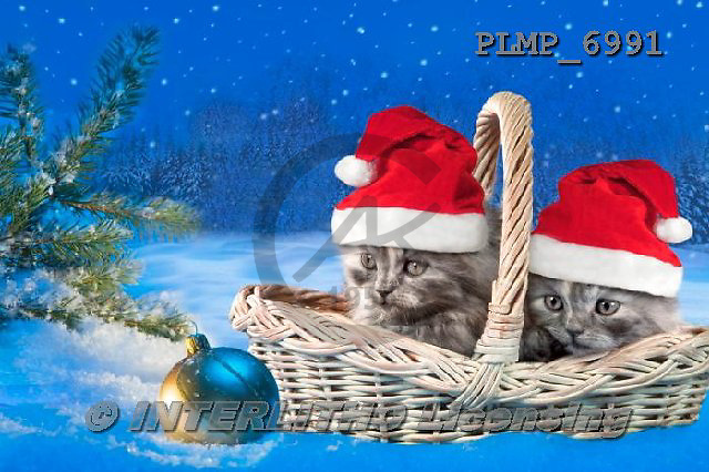 Marek, CHRISTMAS ANIMALS, WEIHNACHTEN TIERE, NAVIDAD ANIMALES, photos+++++,PLMP6991,#XA# cat  santas cap,
