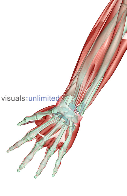 A posterior view of the musculoskeleton of the left forearm. Royalty Free