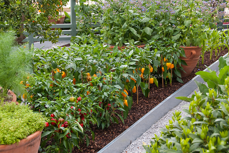 Growing Peppers Corn Vegetables In Backyard Plant Flower Stock Photography