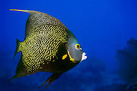 French angelfish, Pomacanthus paru, The Ridges, Islamorada, Florida Keys National Marine Sanctuary, Atlantic Ocean