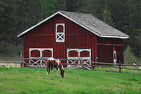 Paint horse grazing in a green pasture in front of a red barn.