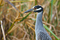 Adult Yellow-crowned Night-Heron (Nyctanassa violacea). Plaquemines Parish, Louisiana. July 2010.