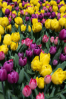 New York, New York City, during the time of the Coronavirus. Tulips.