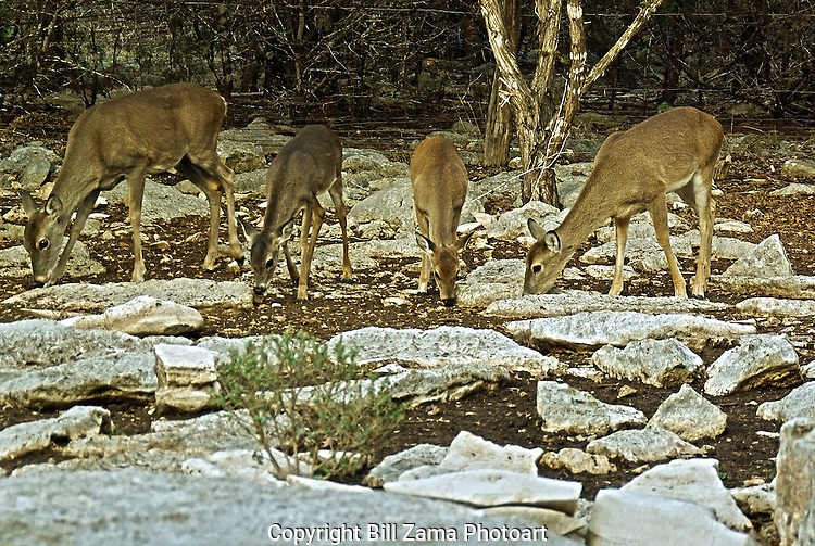 Texas White Tail Deer searching for acorns