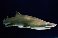 Sand Tiger Shark or Sand Shark (Carcharias taurus or Eugomphodus taurus)--some disagreement over classification.