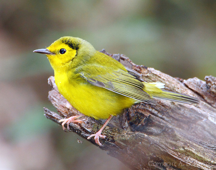 Adult female hooded warbler in fall migration