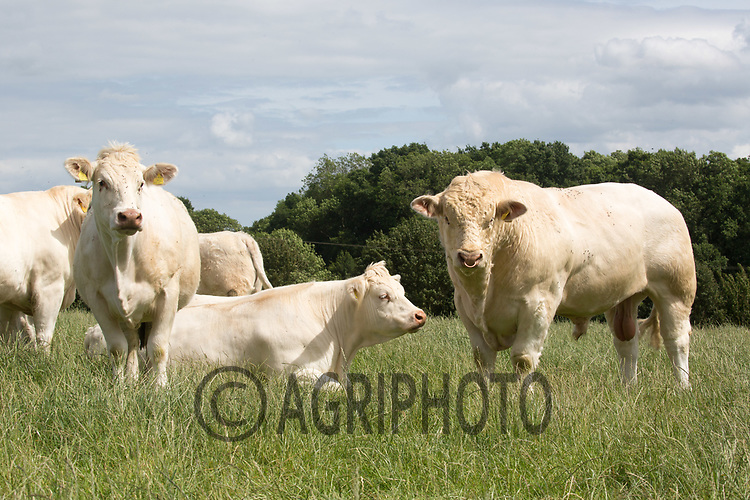 Charolais Bull running with cows <br /> Picture Tim Scrivener 07850 303986<br /> &hellip;.covering agriculture in the UK&hellip;.