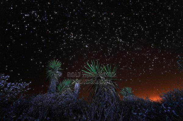 Trecul Yucca, Spanish Dagger (Yucca treculeana), at night, Dinero, Lake Corpus Christi, South Texas, USA