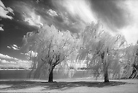 Infrared trees at Maxey Park, Lubbock, Texas.<br /> <br /> Nikon F3HP 24mm lens, Kodak High Speed infrared film, red filter