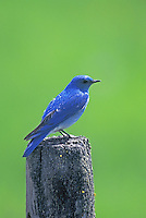 Mountain Bluebird perched in Bear Valley, Oregon