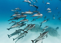 RZ1026-Dr. Spinner Dolphins (Stenella longirostris), very gregarious species often found in large groups. Pod swimming together in shallow water near offshore coral reef. Egypt, Red Sea.<br /> Photo Copyright &copy; Brandon Cole. All rights reserved worldwide.  www.brandoncole.com