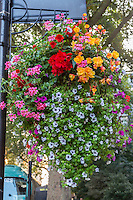 UK, England, London.  Flowers in a Hanging Flower Box, Westminster.