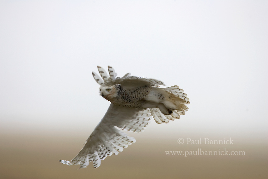 A female Snowy Owl, Bubo scandiacus, flies from her nest to lure a predator away.