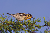Blackburnian Warbler, Dendroica fusca, female, Port Aransas, Texas, USA.