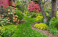 Vashon-Maury Island, WA: Spring perennial garden featuring rhododendron 'Seaview Sunset', Japanese Maple 'Shishio Improved', Japanese forest grass (Hakonechloa macra 'Aureola') and bleeding heart (Dicentra spectabilis 'Gold Heart') with a confetti of cherry blossoms on the grass.