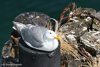 An adult glaucous-winged gull rests on top of a piling at the ferry terminal for Port Townsend.