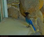 Pacific Steller's Jay Morning Visitor at Ranger's Cabin, Cyanocitta stelleri, Yosemite Village, Yosemite National Park