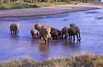 African elephants crossing Uaso Nyivo River