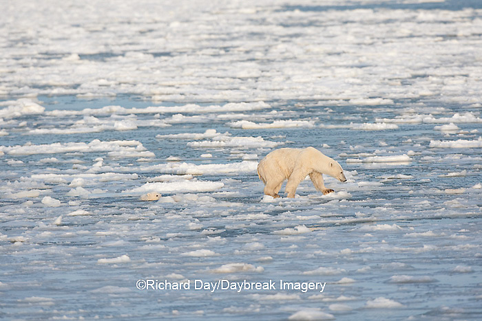 01874-12202 Polar Bear (Ursus maritimus) mother and cub jumping on ice in Hudson Bay  in Churchill Wildlife Management Area, Churchill, MB Canada