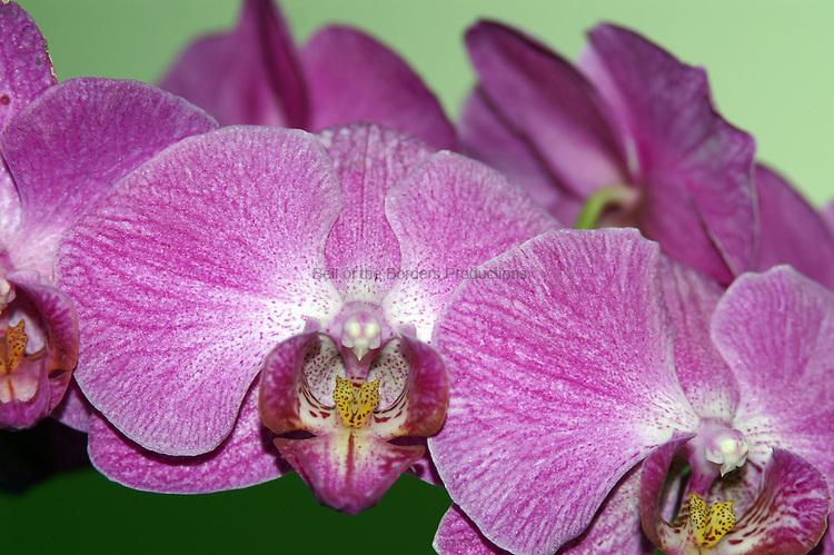 purple striped orchid