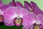 purple striped orchid