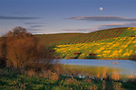 Spring moonrise over mustard, pond, & vineyard in the lower Carneros Region, Sonoma County, California