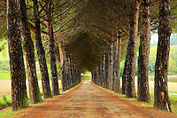 The tree flanked alley entry way to a private palazzo in Tuscany, Italy