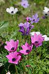 Israel, Anemone flowers in Jezreel Valley