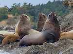 Steller sea lions hauled out on Sucia Island in Washington State's San Juan Islands