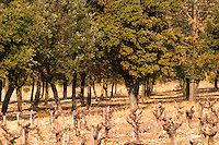 The truffle forest oak plantation and the vineyard at La Truffe de Ventoux truffle farm, Vaucluse, Rhone, Provence, France