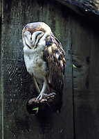 Barn Owl sleeping on perch by old wood wall