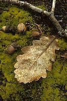 Europe/France/Centre/41/Loir-et-Cher/Forêt de Russy/Environ de Saint-Gervais-la-Forêt : Détail gland et feuille de chêne , le bois de la forêt est utilisé par la tonnellerie Seguin Moreau à Cognac