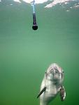Harbor Porpoise (Phocoena phocoena) being trained, Fjord & Baelt, Denmark