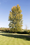 Hybrid Poplar Tree in autumn leaf, Cherhill, Wiltshire, England, UK