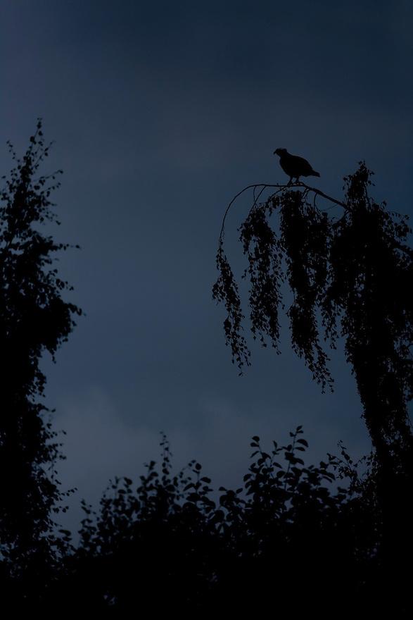 Osprey (Pandion haliaetus) silhouetted at dusk, Kangasala, Finland.