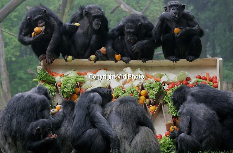 Foto: VidiPhoto..ARNHEM - Oermoeder Mama, de oudste chimpansee van Nederland, is maandag 52 jaar geworden. In dierentuin Burgers' Zoo in Arnhem werd dat uitbundig gevierd. Alle chimpansees in het dierenpark mochten tot hun grote opwinding en verbazing meeëten van de enorme fruit- en groententaart. Burgers' heeft de oudste en meest complete chimpanseekolonie van Nederland.