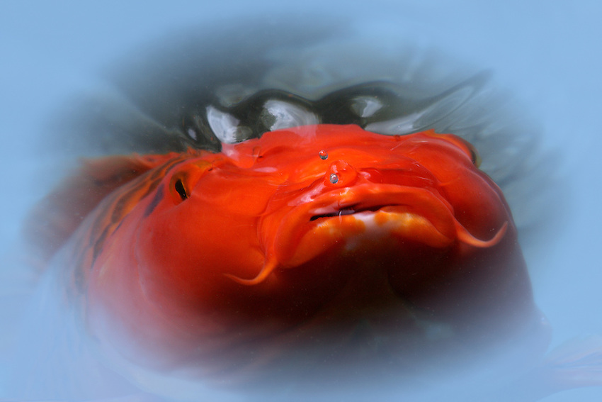 Koi were developed from common carp in ancient China during the Jin Dynasty and were later transferred to Korea and Japan, where they are still popular as a symbol of love and friendship. A variety of colors and color patterns have since been developed.. Just below the surface here, with deep sea diver breath :)