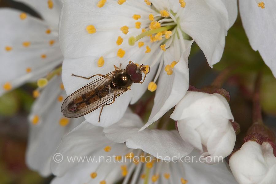 Matte Schwarzkopfschwebfliege, Schwarzkopf-Schwebfliege, Blütenbesuch, Nektarsuche an Kirschblüte, Melanostoma scalare, Syrphus scalare