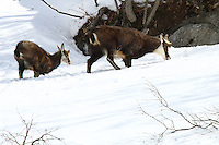 Two chamois in the snow