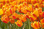 Orange and Yellow Tulips, Skagit Valley, Washington